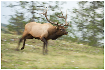 Bull elk, Jasper National Park, Alberta, Canada