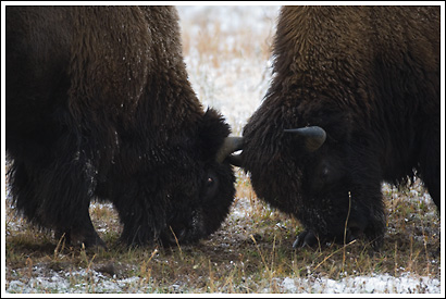 Bull Bison sparring, Yellowstone National Park, Wyoming.