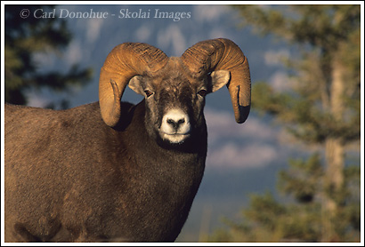 Bighorn ram in the Canadian Rockies, Jasper National Park, Alberta, Canada.