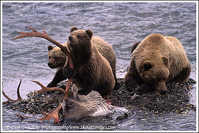 Grizzly bear sow and cubs feed on a caribou bull carcass, Denali National Park, Alaska.