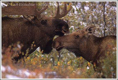 Bull and cow moose nuzzling, Denali National Park, Alaska.