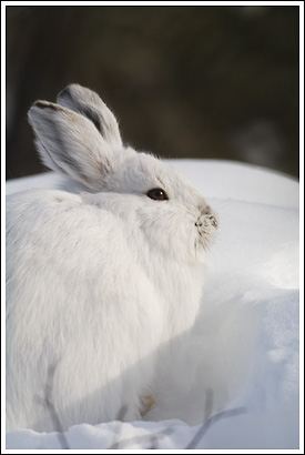 Snowshoe hare, winter molt, white fur, Wrangell - St. Elias National Park, Alaska.