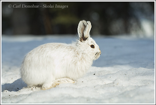 snowshoe hare (Lepus Americanus) on snow, winter, Wrangell - St. Elias National Park, Alaska.