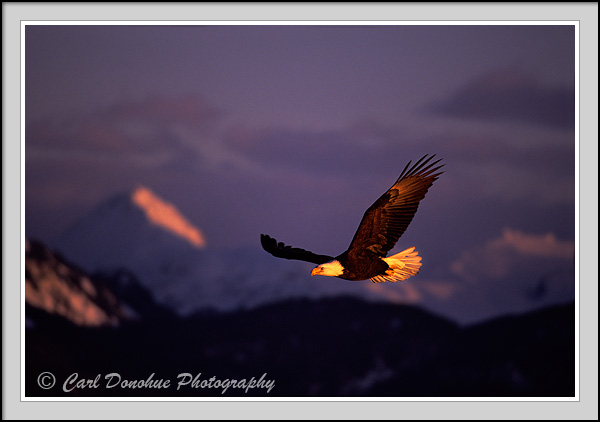 Bald eagle soaring against mountains, sunset, Kachemak Bay State Park, Homer, Alaska.