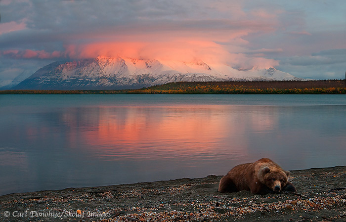 Grizzly bear and sunset, Katmai National Park and Preserve, Alaska