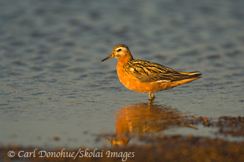 Red Phalarope (Phalaropus fulicarius), Arctic National Wildlife Refuge, ANWR, Alaska.