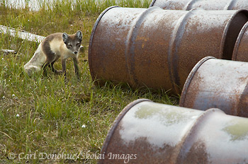 Arctic fox and oil barrels on the coastal plain, Arctic National Wildlife Refuge, Alaska.