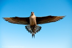 A Parasitic Jaeger (Stercorarius parasiticus) in flight over the coastal plain of the Arctic National Wildlife Refuge (ANWR), Alaska.
