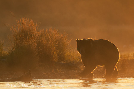 Brown bear backlit at dawn, Katmai National Park, Alaska.