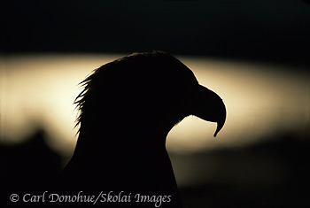 Bald Eagle Portrait, Homer, Alaska.