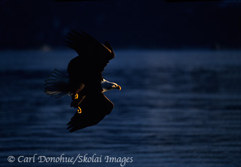 Bald eagle in flight, Splashed with Light, Alaska