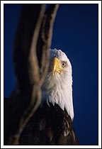 bald eagle peering from behind driftwood, Homer, Alaska