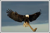 bald eagle landing on perch, Homer, Alaska