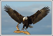 Adult bald eagle landing on perch, Homer, Alaska