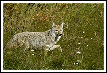 Coyote, walking through field of wildflowers, Jasper National Park, Alberta, Canada.