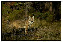adult coyote, standing in the forest, Jasper national Park, Alberta, Canada