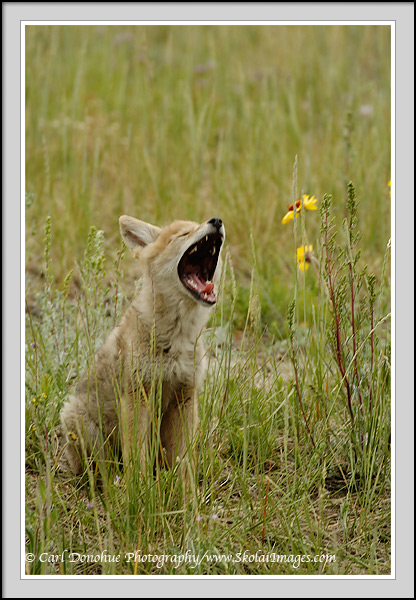 Coyote pup, yawning, meadow, wild flowers, Jasper National Park, Alaska