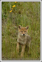 Coyote puppy, walking through field of wildflowes, Jasper National Park, Alberta, Canada