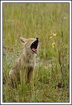 Coyote pup, yawning, mouth wide open, Jasper National Park, Alberta, Canada