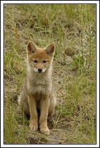 Coyote pup, sitting and staring, jasper National Park, Alberta, Canada