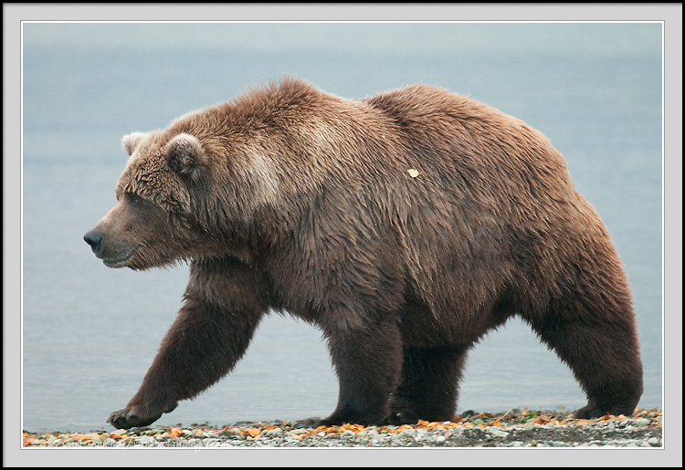Grizzly bear walking - photo#1