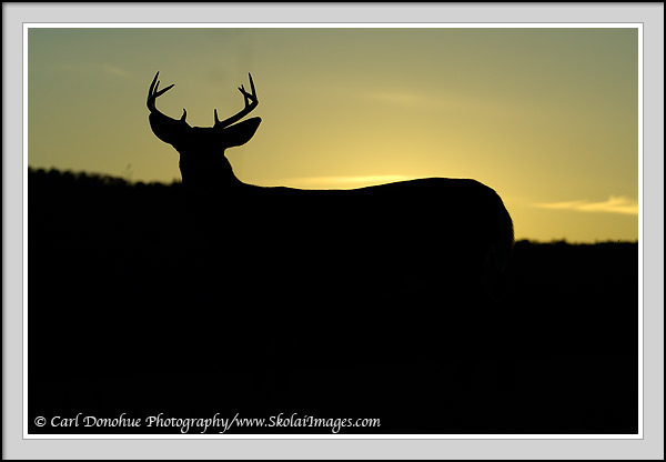 Whitetail deer buck silhouette picture